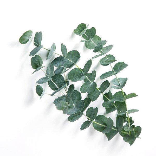 eucalyptus-tak